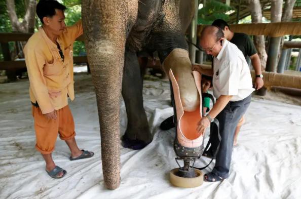 Comment cette fondation thaïlandaise crée des prothèses pour éléphants amputés