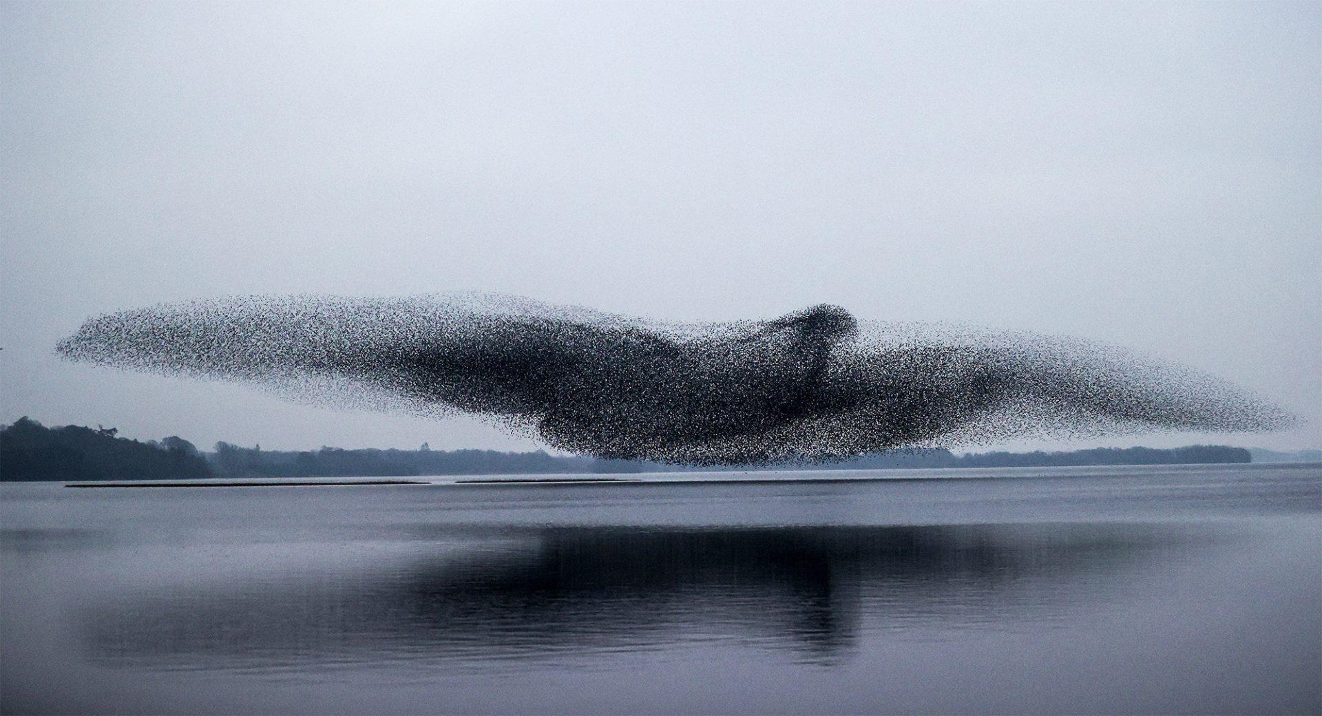 Époustouflant : ce nuage d'étourneaux forme un oiseau géant